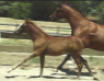 Arabian Mare with Filly
