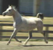 Russian Arabian Mare Bred by Gil VanCamp