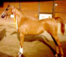 Multi-halter winning Arabian Mare