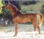 Russian Arabian Sporthorse Stallion