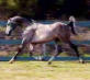 15.2h Straight Russian Arabian Stallion imported from Russia