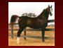 Son of Russian Arabian Race Stallion Ptersk