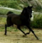 Black Arabian Mare